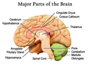brain_tips