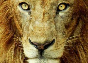 lion_face_size
